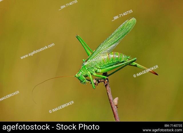 Great green bush cricket (Tettigonia viridissima) on a branch, Rothaargebirge, North Rhine-Westphalia, Germany, Europe