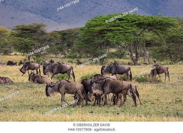 Africa, trees, gnu, wildebeest, scenery, landscape, travel, savanna, screen acacia, Serengeti, mammals, Tanzania, East Africa, animals, flock, herd, wilderness