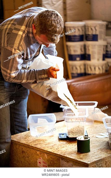 Specialist coffee shop. A man pouring unroasted fresh coffee beans into a tub