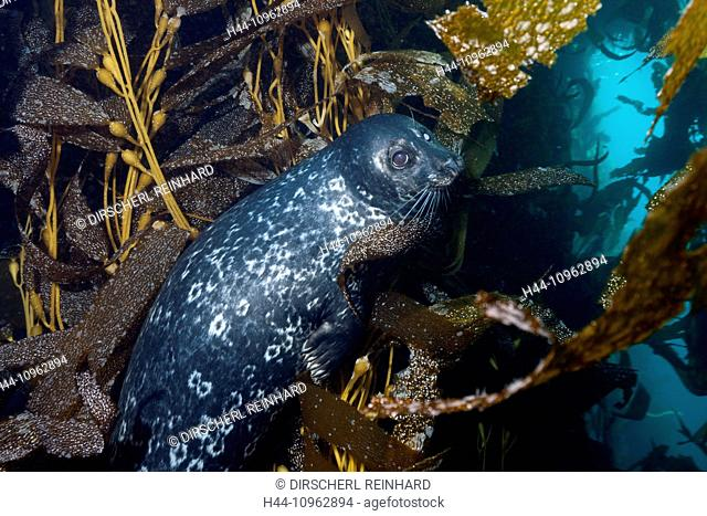 Pacific Harbor Seal, Phoca vitulina richardsi, Cedros Island, Mexico