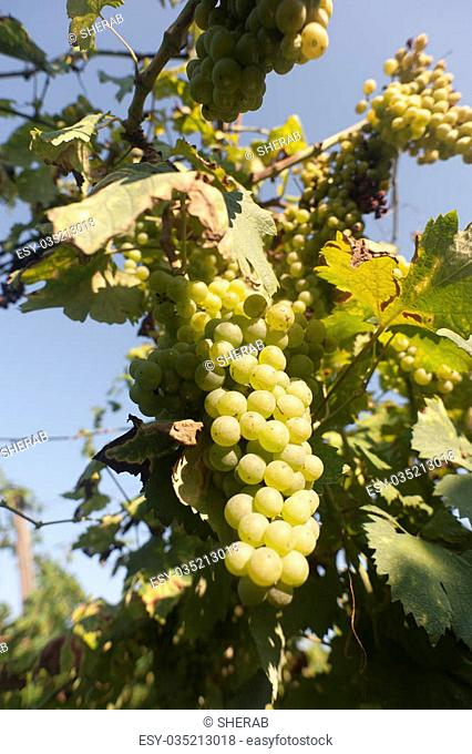 grapes, wine, agricoltura, fruit, viticulture