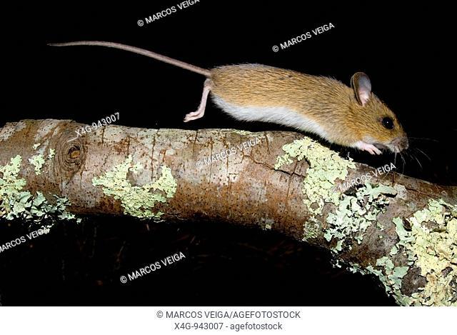 Ratón de campo  Woodmouse  Apodemus sylvaticus  Pontevedra, España