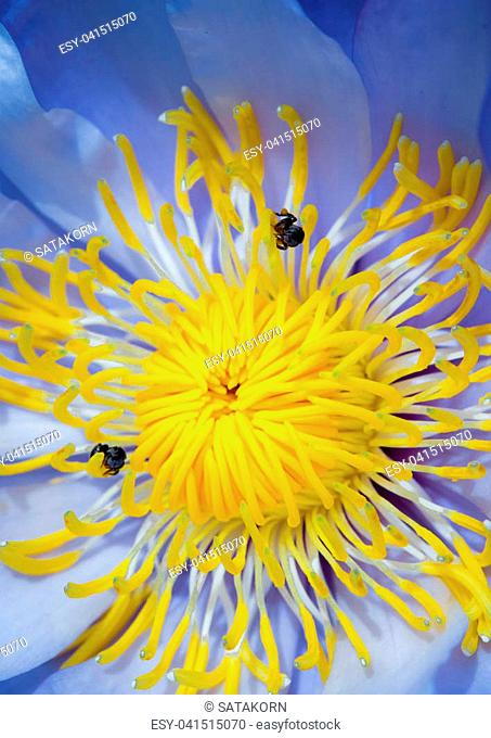 Bee in the blue petal and yellow pollen of water Lily
