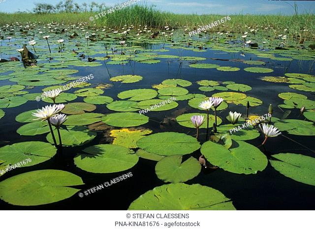 Waterlily Nymphaea spec. - Seronga, polers trust, Okavango delta, Botswana, Africa