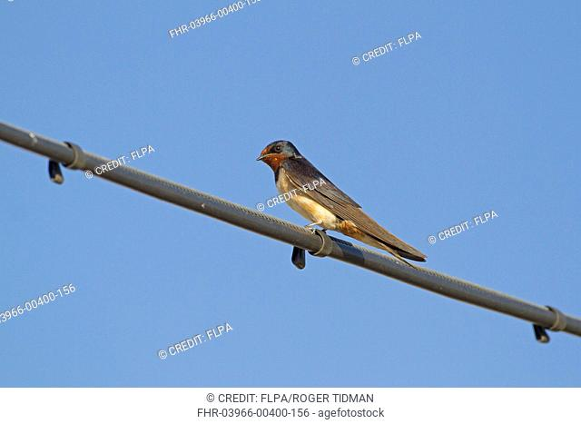 Barn Swallow (Hirundo rustica rustica) adult, perched on wire, resting on migration, Castilla y Leon, Spain, August