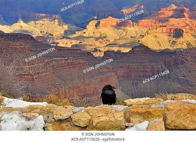 Common raven (Corvus corax) perched on viewpoint retainign wall overlooking South Rim of the Grand Canyon, Grand Canyon National Park, Arizona, USA