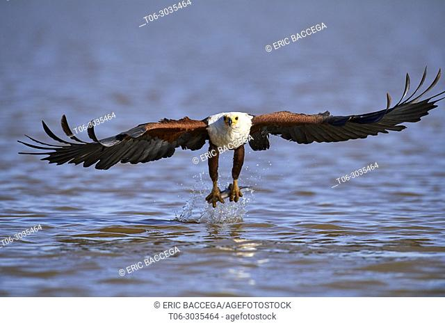 African fish eagle (Haliaeetus vocifer) fishing, Baringo lake, Kenya, Africa