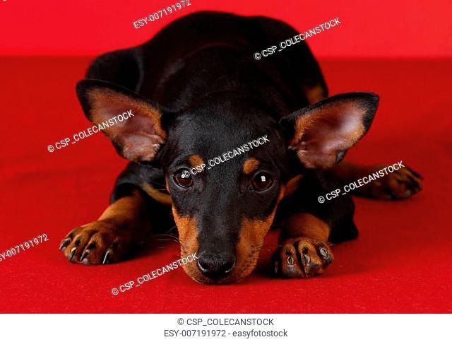 toy manchester terrier puppy