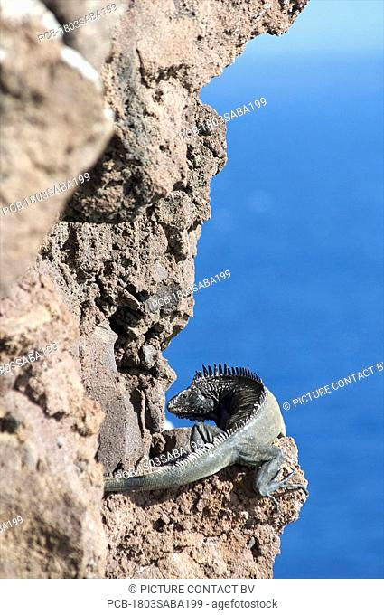 Saba, a lizard on the cliffs