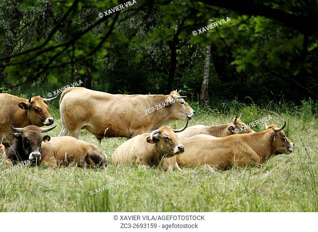 Herd of Aubrac cows in a field, Weatland, Isere, Auvergne Rhone Alpes, Chartreuse, France, Europe