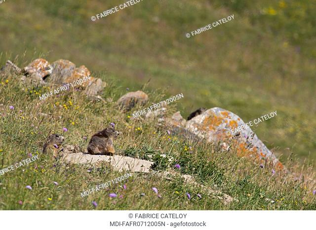 Nature - Fauna - Marmot - Marmot and its young at the entry of their burrow in the natural regional park of Queyras