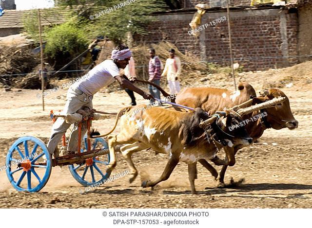 Bullock cart race and rider at village Aisalpur ; district Amravati ; Maharashtra ; India