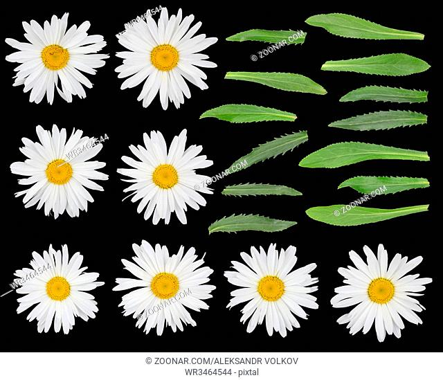 Big real gentle garden camomile flowers and leaves set isolated on black. On petals yellow spots of pollen
