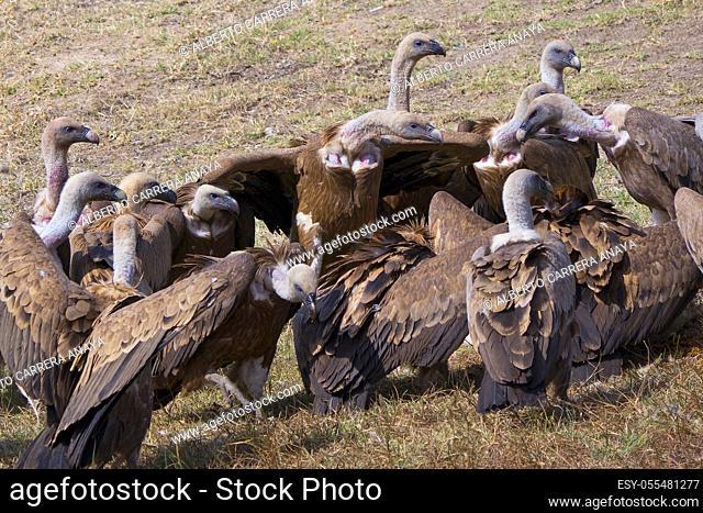 Griffon Vulture, Gyps fulvus, Monfragüe National Park, SPA, ZEPA, Biosphere Reserve, Cáceres Province, Extremadura, Spain, Europe