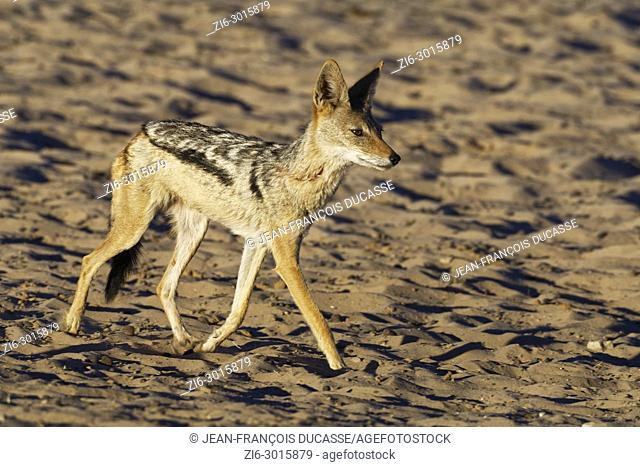 Black-backed jackal (Canis mesomelas), walking on sandy ground, evening light, Kgalagadi Transfrontier Park, Northern Cape, South Africa, Africa