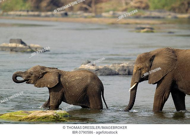 African Elephants (Loxodonta africana), a cow and a calf wading through the Olifants River, Kruger National Park, South Africa