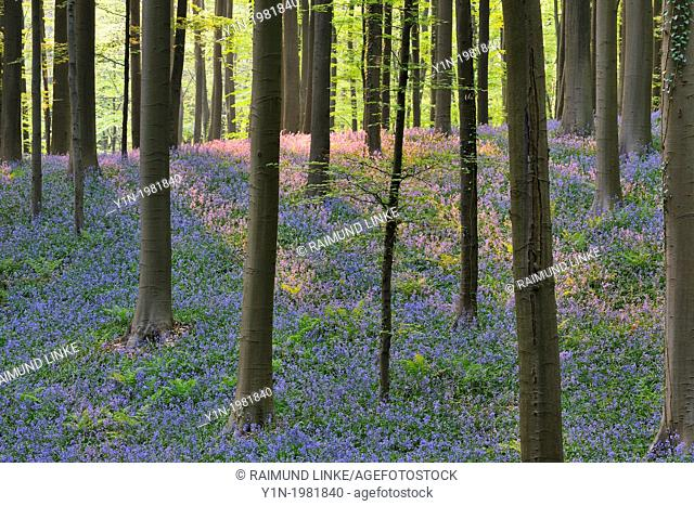 Beech Forest with Bluebells in the Spring, Hallerbos, Halle, Vlaams Gewest, Brussels, Belgium, Europe
