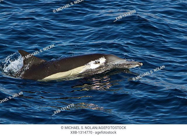 Long-beaked common dolphin pod Delphinus capensis encountered off Isla del Carmen within the Parque Nacional Bahia de Loreto Loreto Bay National Park in the...