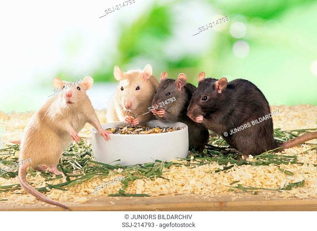 Fancy Rat, Pet Rat (Rattus norvegicus forma domestica). Four adults eating from a bowl. Germany