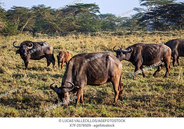 African Buffalo, Syncerus caffer, Lake Nakuru National Park, Kenya
