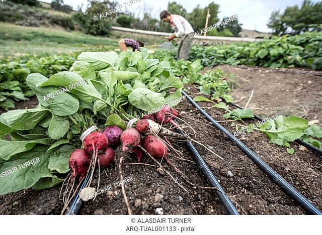 Close Up Of Freshly Harvested Radishes On An Organic Farm In Washington State