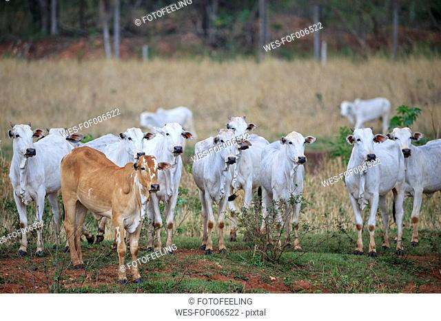 South America, Brasilia, Mato Grosso do Sul, Pantanal, Zebus, Bos taurus indicus