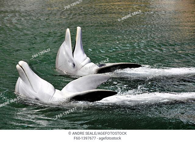Pair of bottlenose dolphins, Tursiops truncatus, Oahu, Hawaii, USA