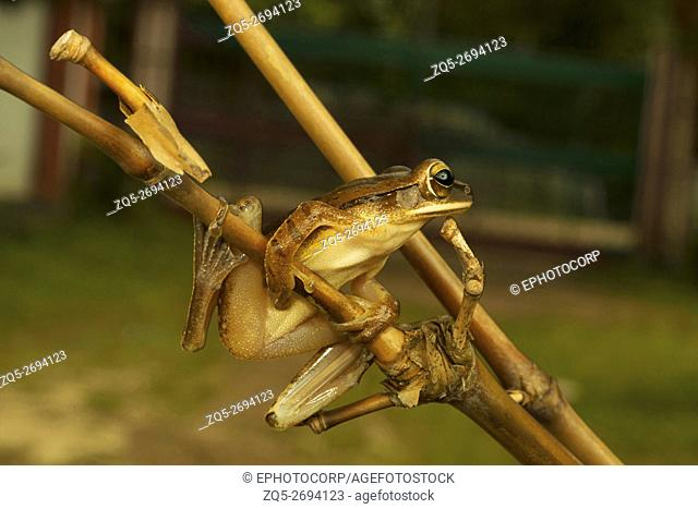 Rahophoridae, Common tree frog, Polypedates teraiensis, Garjee, Tripura