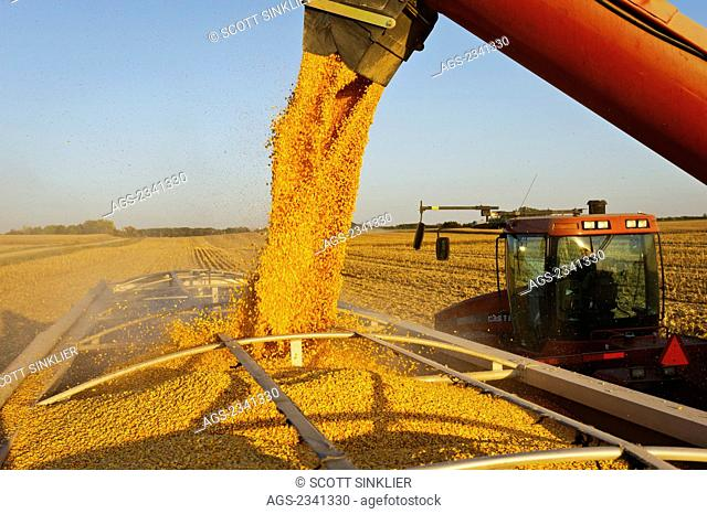 Agriculture - A woman farmer augers grain corn from a grain wagon into a grain truck during the Autumn harvest operations / Central Iowa, USA