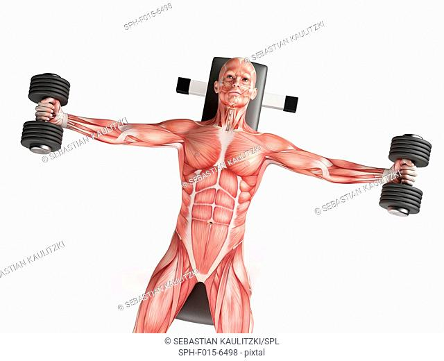 Muscular structure of man doing dumbbell fly with hand weights, illustration