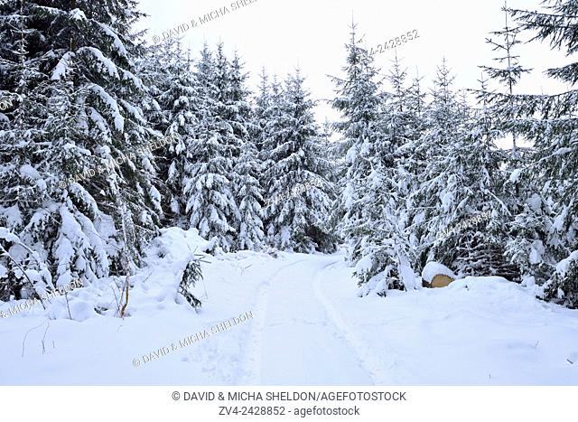 Landscape of a forest path going through a snowy Norway spruce (Picea abies) forest in winter