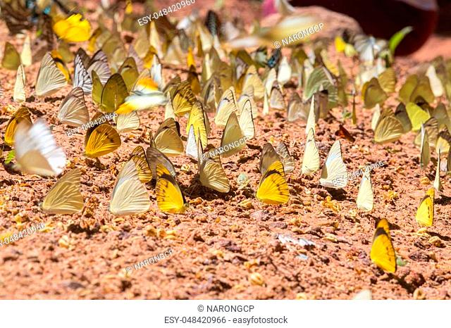 Group of butterfly on the ground. Pang Sida national park. Sa Kaeo Province, Thailand