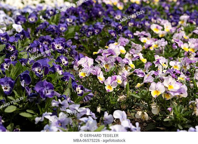 Flowerbed, horned pansies, viola cornuta