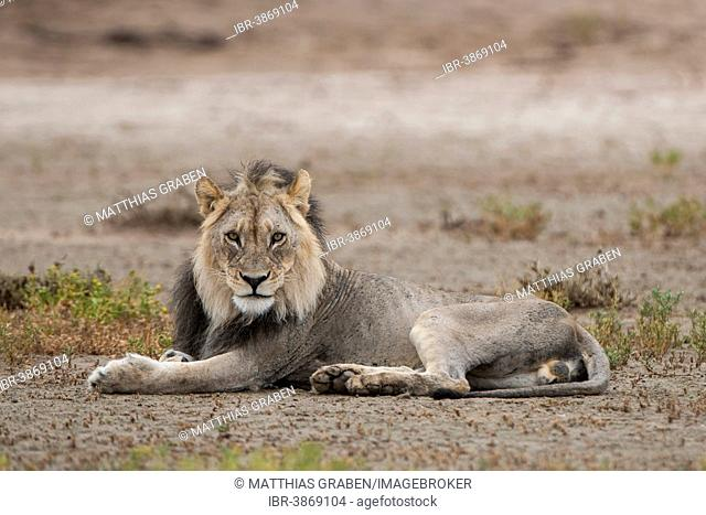 Lion (Panthera leo), Kgalagadi Transfrontier Park, Northern Cape, South Africa