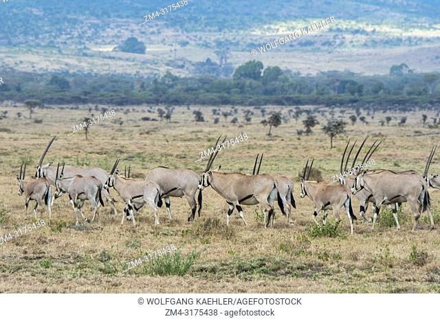 A herd of East African oryx (Oryx beisa) is walking through the grasslands at the Lewa Wildlife Conservancy in Kenya