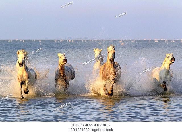 Camargue horses (Equus caballus), herd gallopping through water, Saintes-Marie-de-la-Mer, Camargue, France, Europe