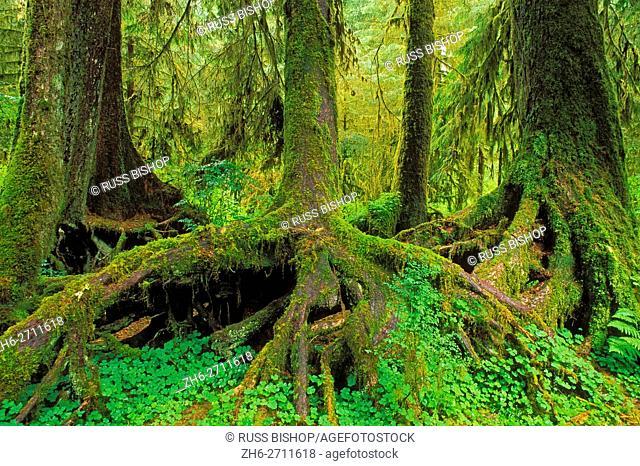 A colonaid of western hemlock trees (Tsuga heterophylla) on a nurse log, Hoh Rain Forest, Olympic National Park, Washington USA