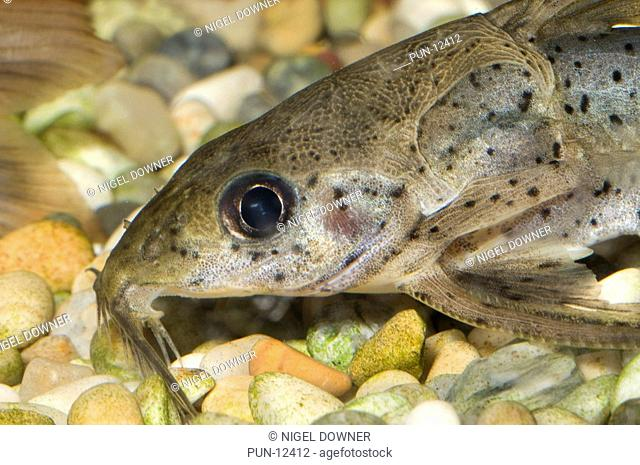 Close-up of the head and mouthparts of a pictus catfish Pimelodus pictus in a freshwater aquarium in North Wales