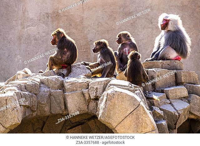 Family of baboons in Wildlands Emmen, The Netherlands, Europe