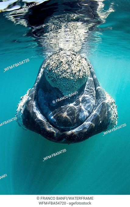 Southern Right Whale, Eubalaena australis, Valdes Peninsula, Patagonia, Argentina