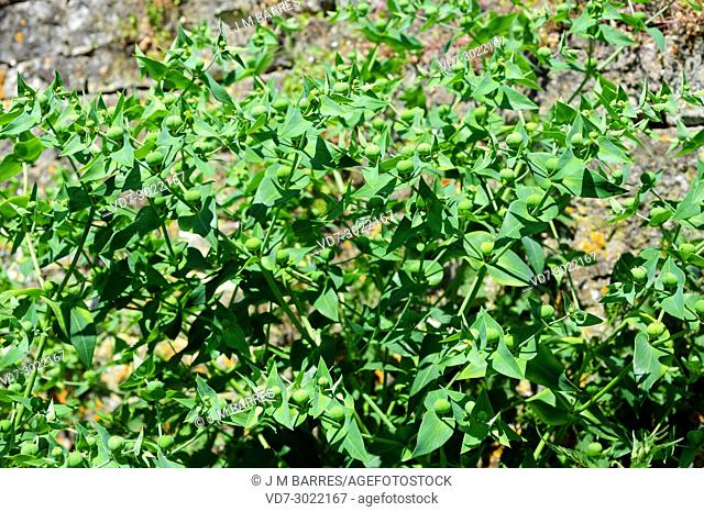 Caper spurge or paper spurge (Euphorbia lathyris) is a biennial herb native to Mediterranean region, Great Britain and Asia
