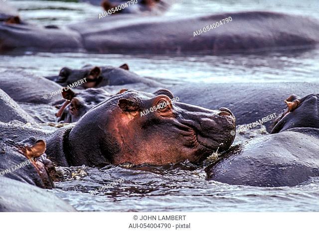 africa, tanzania, group of hippos