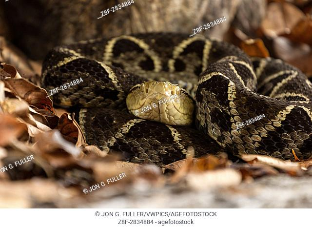 The Fer-de-lance, Bothrops asper, is a large, aggressive pit viper and ranges from southern Mexico to Colombia, Venezuela, and Ecuador
