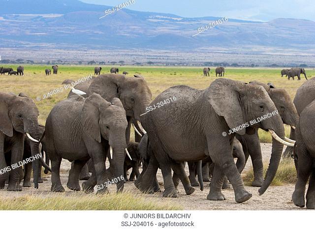 African Elephant (Loxodonta africana). Wandering herd at Amboseli National Park, Kenya