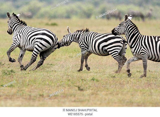 Three Burchell's Zebras, Masai Mara National Reserve, Kenya