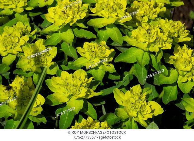 Euphorbia plant