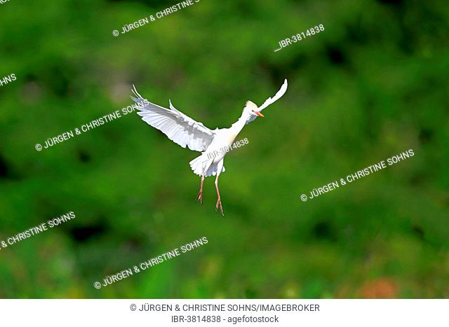 Cattle Egret (Bubulcus ibis), adult, flying, Venice Rookery, Florida, USA