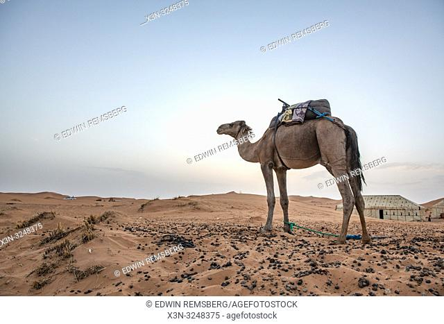 Camel Standing Alone in the Desert of Merzouga, Morocco. Sahara Desert