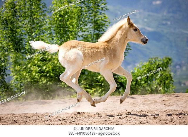 Haflinger Horse. Foal galloping in a paddock. South Tyrol, Italy