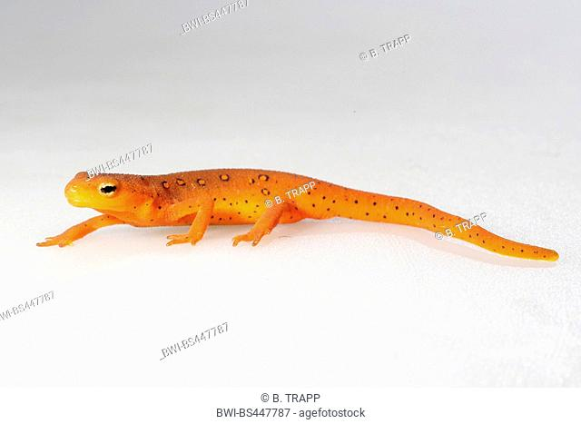 eft, red-spotted newt, red eft, eastern newt (Notophthalmus viridescens), lateral view, cutout